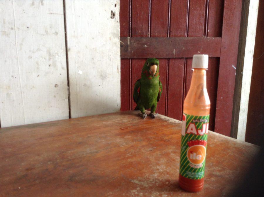 Papugaji